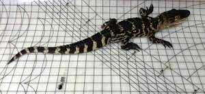 ohare-alligator